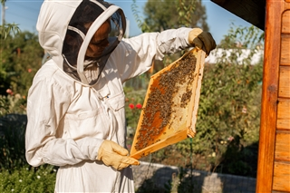 Beekeeper inspecting a Frame