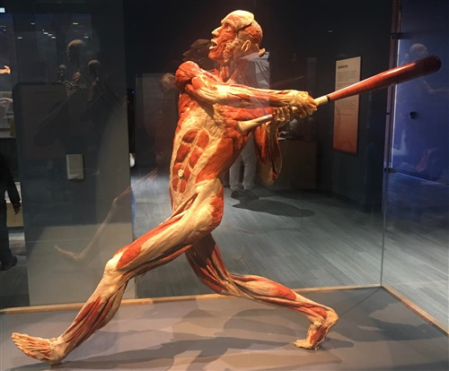 body worlds baseball player